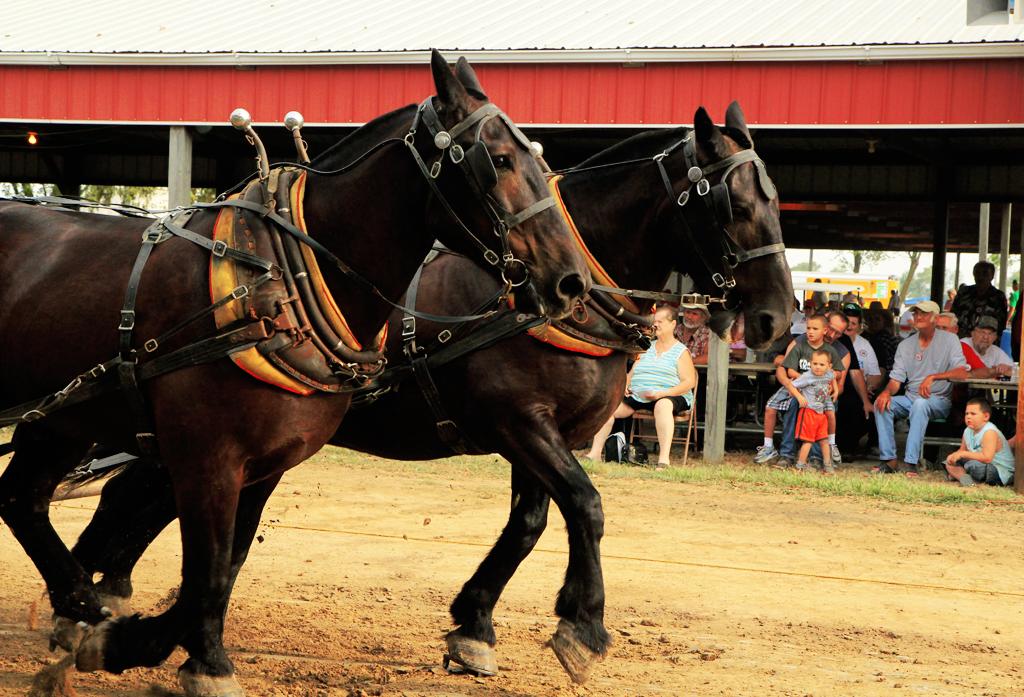 draft horse pull in illinois