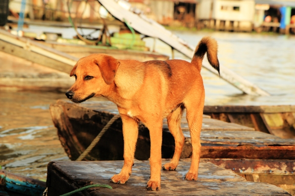 This is a dog in Vietnam. No one has eaten him.