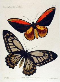 wallacebutterfly