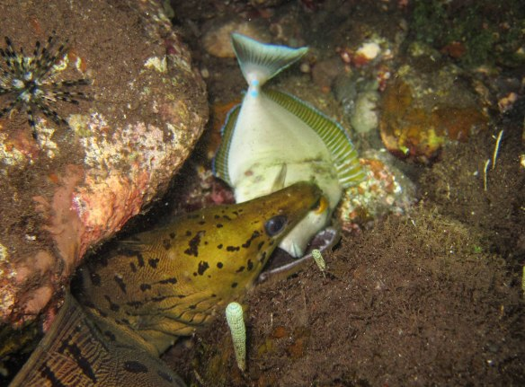 Moray eel eating a fish. So cool. Taken by my instructor, Angga.