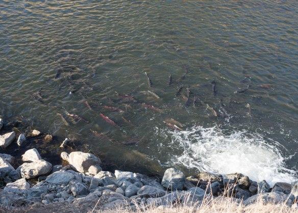 salmon dramatic