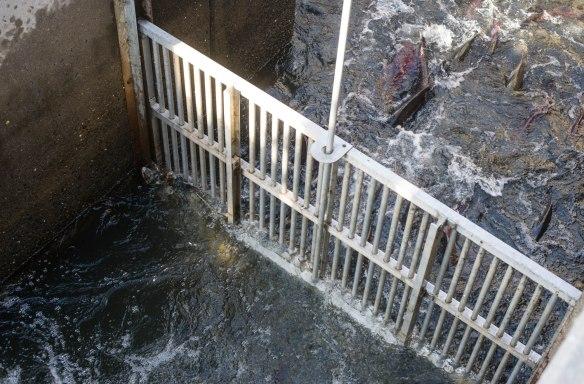 salmon fish gate